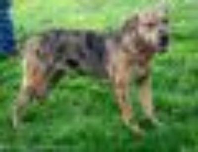 Savita Catahoula Leopard Dog - Shar Pei Dog