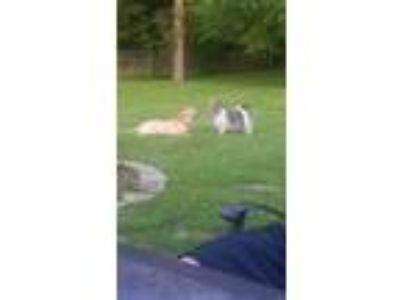 Adopt Tucker a Tan/Yellow/Fawn Labrador Retriever / Shar Pei / Mixed dog in