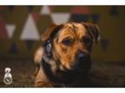 Adopt Hansel a Black - with Tan, Yellow or Fawn Shar Pei / German Shepherd Dog /