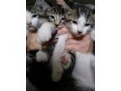 Adopt Mounds, Snickers, & Heath a Domestic Short Hair