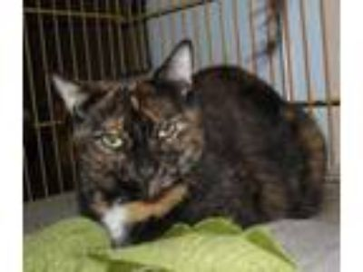 Adopt Willow Lee a Brown or Chocolate Domestic Shorthair / Domestic Shorthair /