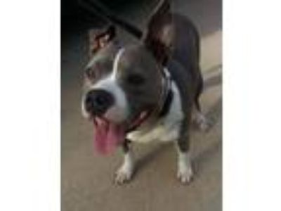 Adopt Lizzy a Pit Bull Terrier