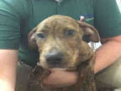 Adopt SNICKERS a Brindle American Pit Bull Terrier / Mixed dog in Plano