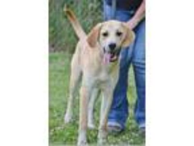 Adopt Blaze a Labrador Retriever / Mixed dog in Madison, NJ (25638041)