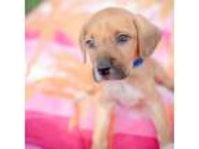 Adopt Cornbread a Hound, Mixed Breed