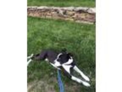 Adopt Sonny a Black - with White American Pit Bull Terrier / Labrador Retriever