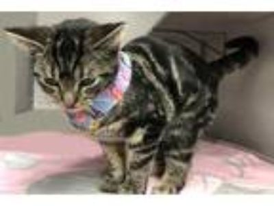 Adopt Valentina a Brown or Chocolate Domestic Shorthair / Domestic Shorthair /