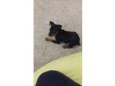 Adopt Ponyo a Black - with Tan, Yellow or Fawn Miniature Pinscher dog in San