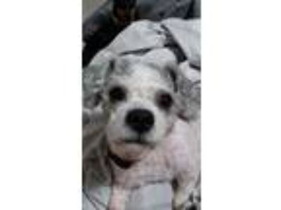 Adopt Lilly a White - with Black Bichon Frise / Shih Tzu dog in Coral Springs