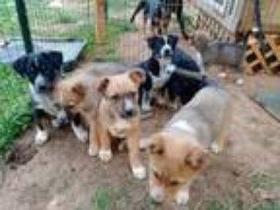 Puppy - For Sale Classifieds in Nolensville, Tennessee - Claz org