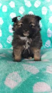 Pomeranian PUPPY FOR SALE ADN-105086 - Lucy the Pomeranian
