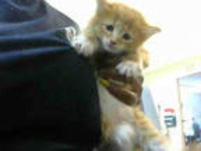 Adopt MOCHA a Orange or Red Domestic Shorthair / Mixed (short coat) cat in