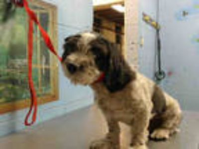 Adopt a White - with Black Terrier (Unknown Type, Medium) / Mixed dog in San