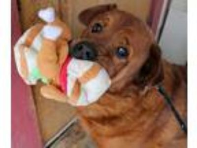 Adopt Cesar a Red/Golden/Orange/Chestnut Rottweiler / Chow Chow / Mixed dog in