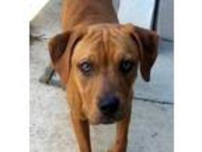 Adopt CoCo a Brown/Chocolate Labrador Retriever / American Pit Bull Terrier /