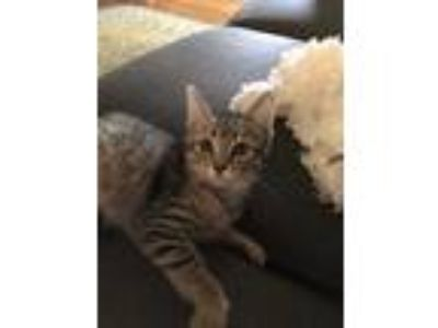 Adopt Ruth a Brown Tabby Domestic Shorthair (short coat) cat in Rochester
