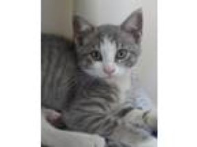 Adopt Daisy a Domestic Short Hair, Tiger