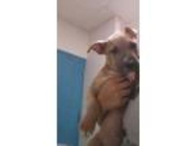 Adopt Rolo a Tan/Yellow/Fawn American Pit Bull Terrier / Mixed dog in Gulfport