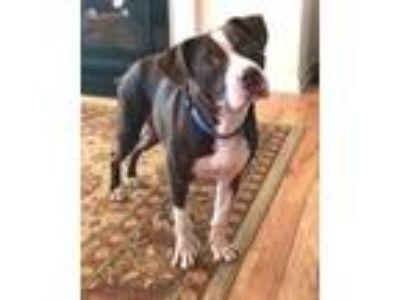 Adopt Marty a Hound, Boxer