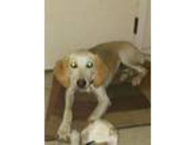 Adopt Lillian a Greyhound, Hound