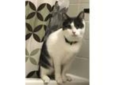 Adopt Anne a Gray or Blue (Mostly) Domestic Shorthair / Mixed (short coat) cat