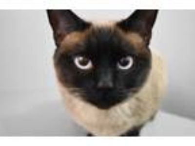 Adopt Sophie a Siamese, Domestic Short Hair