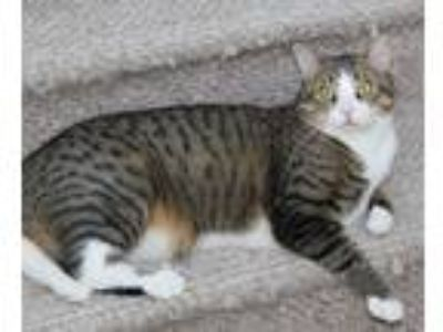 Adopt Grover a Brown Tabby Domestic Shorthair / Mixed cat in Lutherville