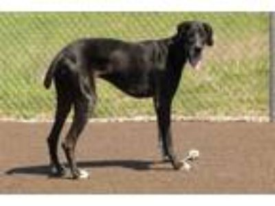 Adopt Dillinger a Black Great Dane / Mixed dog in Bristol, IN (25237810)