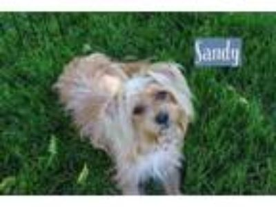 Adopt Sandy a Yorkshire Terrier