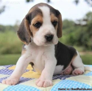 quiet BEAGLE puppies ready.
