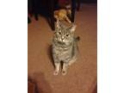 Adopt Lilly a Tabby, Domestic Short Hair
