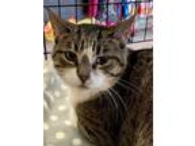Adopt Celine - Polite and Quiet a Domestic Short Hair