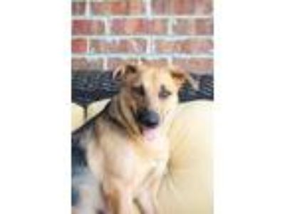 Adopt Melitha a Brown/Chocolate - with Tan German Shepherd Dog / Mixed dog in