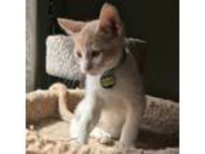 Adopt Patches a Tabby, Siamese