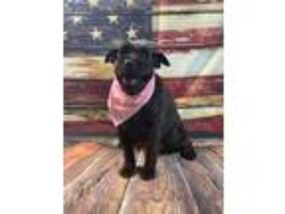 Adopt Willow a Black Schnauzer (Standard) / Spaniel (Unknown Type) / Mixed dog