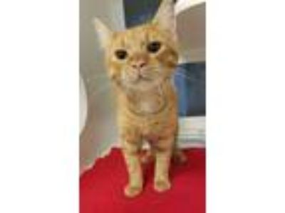Adopt Sunflower a Domestic Short Hair