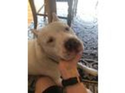 Adopt Jesus a White American Staffordshire Terrier dog in Denver, CO (25876382)