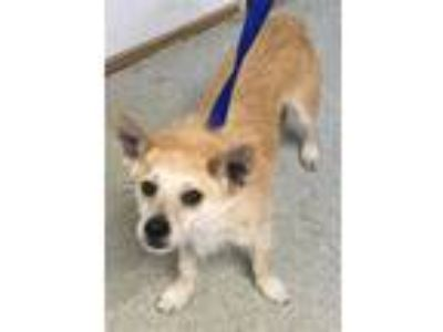 Adopt Bear a Terrier (Unknown Type, Small) / Mixed dog in Vallejo, CA (25837397)