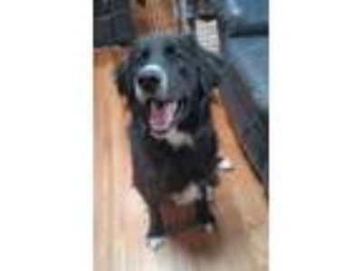 Adopt Baldwin a Border Collie, Flat-Coated Retriever
