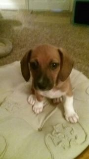 Dachshund mix female pup
