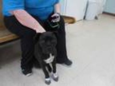 Adopt LEVI a Black - with White American Pit Bull Terrier / Boxer / Mixed dog in