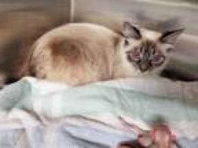 Adopt CRISTIE a Brown or Chocolate (Mostly) Siamese / Mixed (short coat) cat in