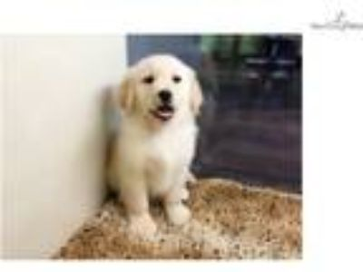 Golden Retriever $950 ([phone removed])