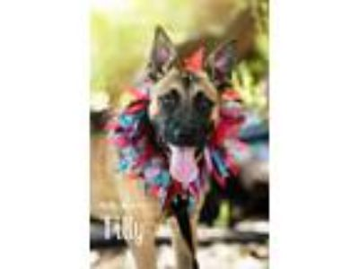 Adopt *Urgent, still in a shelter a German Shepherd Dog, Shepherd