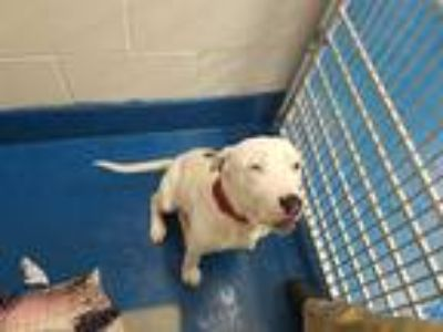 Adopt BOOMER a White American Pit Bull Terrier / Mixed dog in Pearland