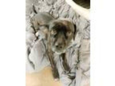 Adopt Kora a Black - with White Cocker Spaniel / American Pit Bull Terrier /
