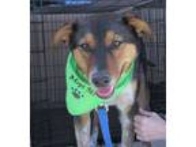 Adopt Sparky a Australian Cattle Dog / Blue Heeler, Terrier