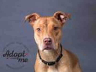 Adopt LITTLE PUPPY a Pit Bull Terrier, Mixed Breed