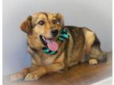 Adopt Ritz a Shepherd, Golden Retriever