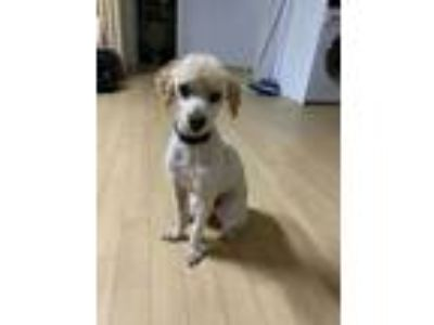 Adopt Butter a Poodle